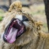 Hunting with lions, dealing with the one big stressor in your life